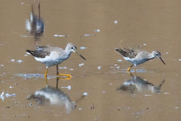 CA Shorebirds