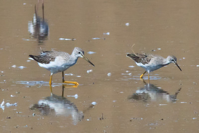 Greater and Lesser Yellowlegs, Richmond Landfill Loop trail, October 2, 2011