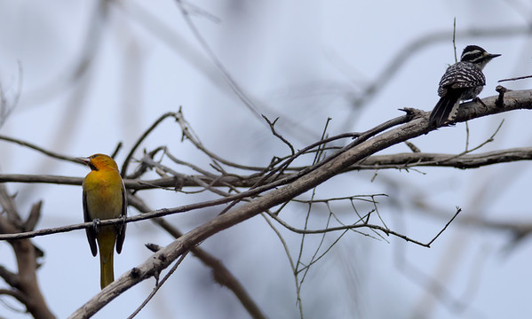 Bullock's oriole & Nuttall's woodpecker