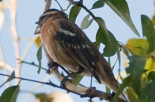Possible Rose-breasted Grosbeak