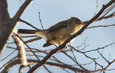 Western Flycatcher #1, Reptile Mesa