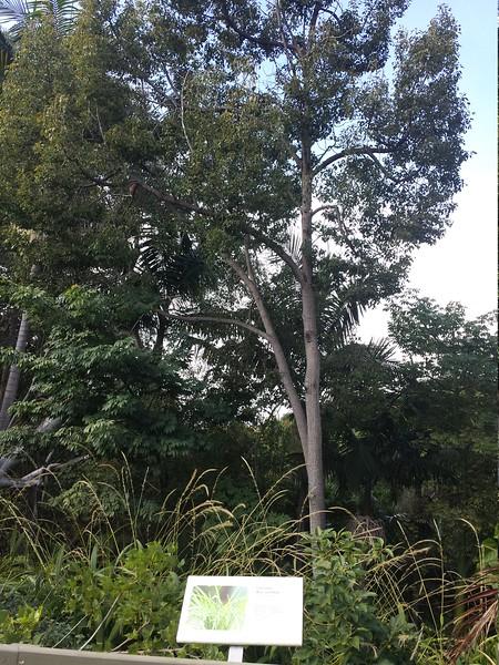 Varied Thrush tree
