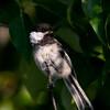 Black-capped Chickadee_Swan Lk_BC -147