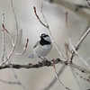 Mountain Chickadee_Telluride_CO-2072