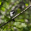 Black-capped Chickadee_Swan-Lake-BC-Canada-4750