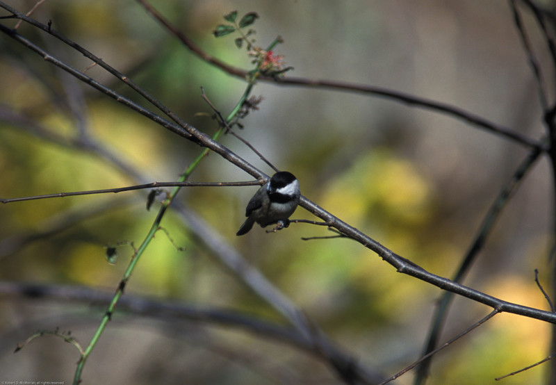 Carolina Chickadee 4- Harpers Ferry_WV