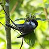Black-capped Chickadee_Hazelton-BC-Canada-750