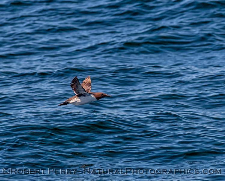 Uria aalge common murre in flight 2019 04-23 Monterey Bay--002