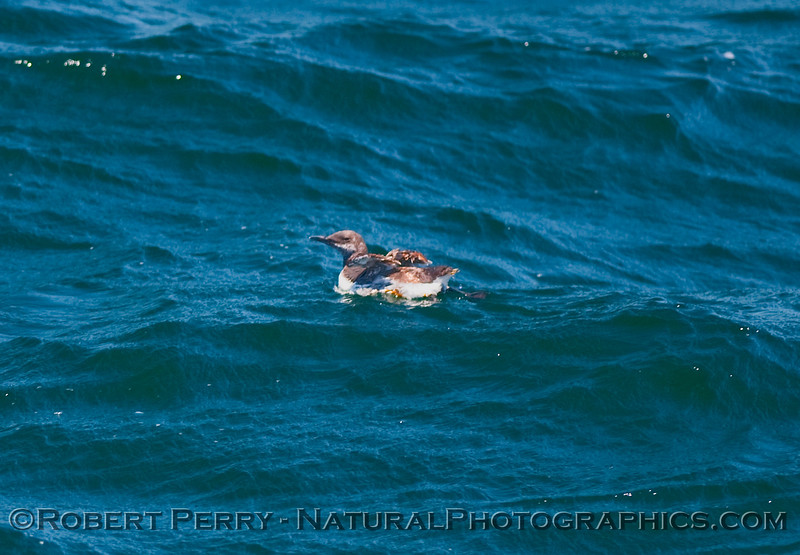 Uria aalge JUV 2009 08-05 SB Channel d  - 231