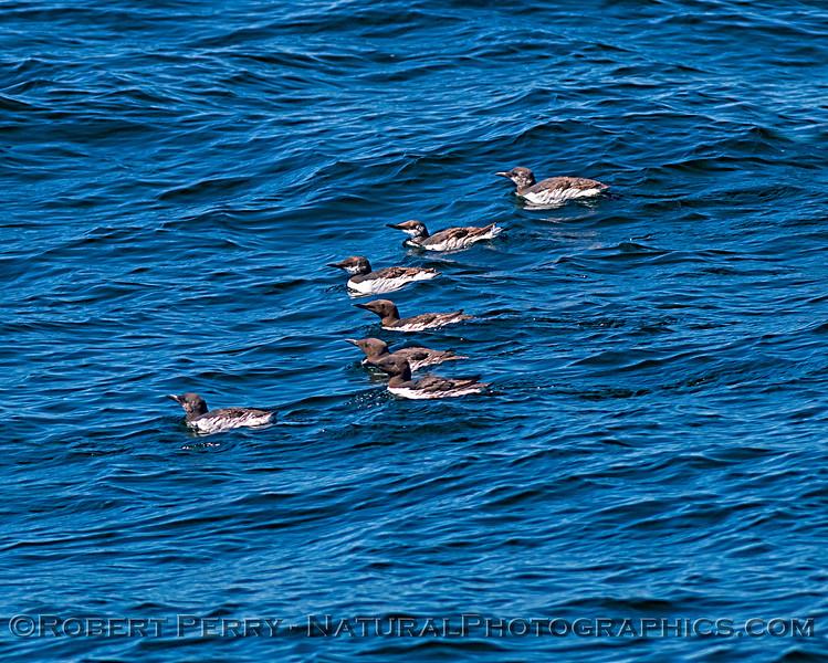 Uria aalge common murres SEVEN on water 2019 04-23 Monterey Bay--004