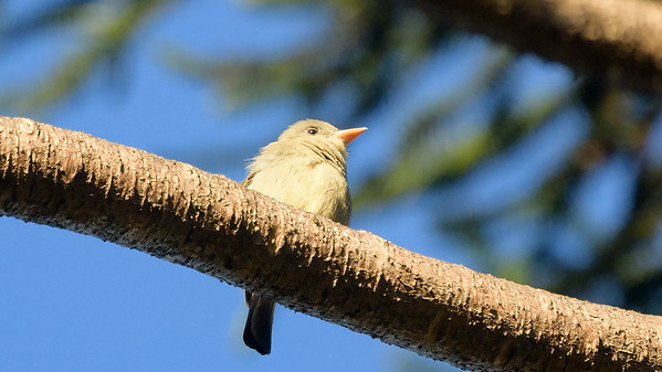 Greater pewee
