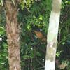 Mangrove Cuckoo- Puerto Morelos_MX 439