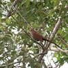 Squirrel Cuckoo- Coba_MX 205