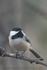 Black Capped Chickadee (b0151)