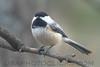 Black Capped Chickadee (b0152)