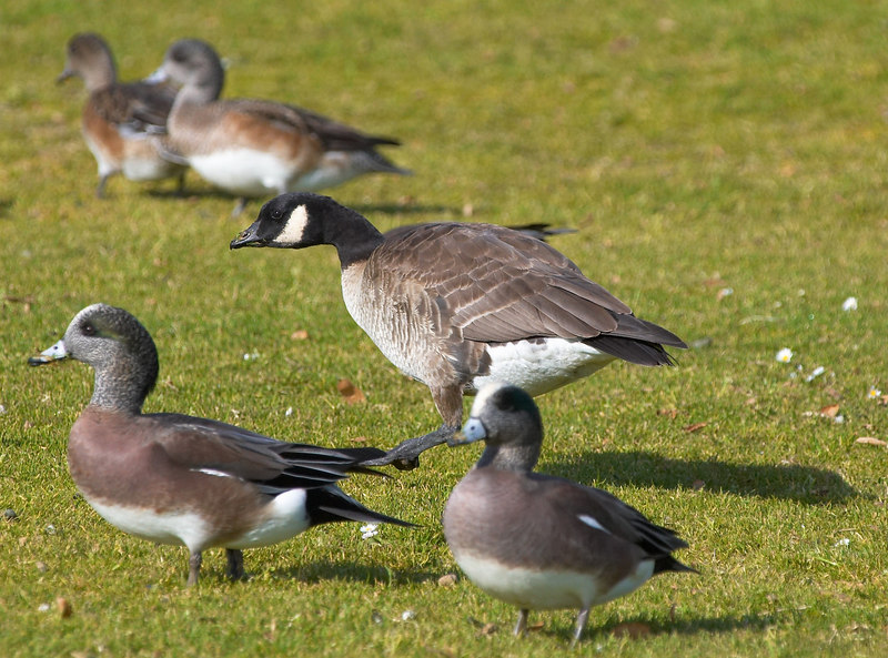 Cackling Goose amongst some American Wigeon's