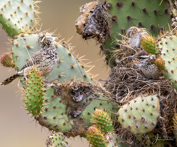 Cactus Wren Chick and Adult