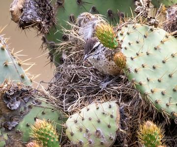 Cactus Wren Chick