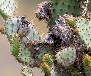 Cactus Wren Adult with Two chicks