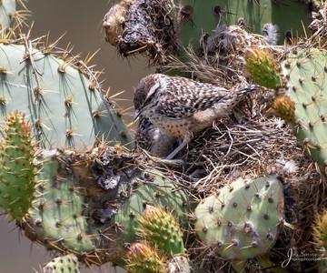 Cactus Wren Flegeling