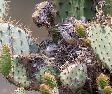Cactus Wren Fledgling
