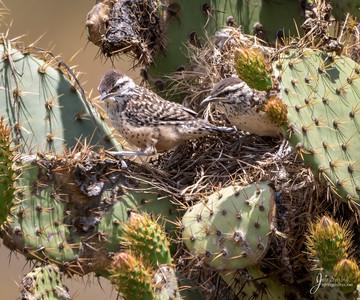 Cactus Wren Fledgeling