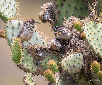 Cactus Wren with two chicks