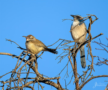Cactus Wren and Scrub Jay