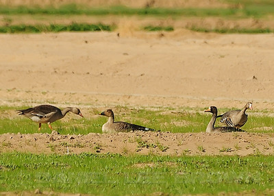 BEAN GOOSE WITH GREATER WHITE-FRONTED GEESE