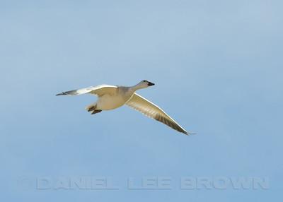 Snow Goose, South Salton Sea, Vendal Rd. 11-10-10. Cropped image.