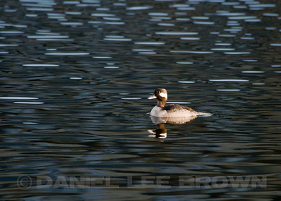 Bufflehead, El Dorado co, CA,  1-03-10.       Most of the images in this gallery are cropped to improve the compositions and to show the species well.
