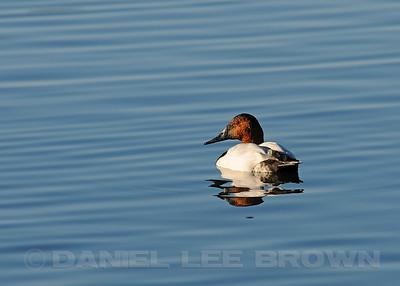 Male Canvasback, Merritt Lake, Alameda co, CA, 10-31-10. Cropped image.