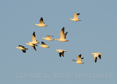 Ross's Geese, with one Snow Goose, South Salton Sea, Vendal Rd. 11-10-10. Cropped image.