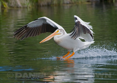 American White Pelican, Baum Lake, Shasta co, CA, 6-10-10.