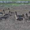 Greater White-fronted Geese, Sacramento NWR, Glenn co, CA, 2-12-10. Most of the images in this gallery are cropped to improve the compositions and to show the species well.