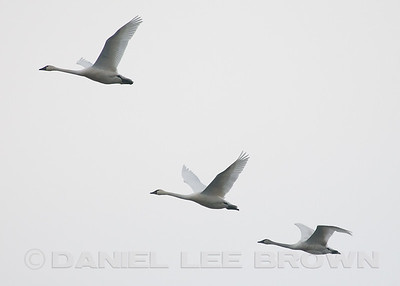Tundra Swans, Sacramento co, CA, 1-05-10. Most of the images in this gallery are cropped to improve the compositions and to show the species well.