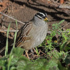 White-crowned Sparrow - Point Lobos, California
