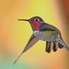 Anna's Hummingbird - Fairfield, California