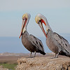 Brown Pelicans - Elkhorn Slough, California