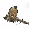 Peregrine Falcon - Point Lobos, California