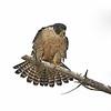 Peregrine Falcon - Point Lobos, California