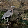 Great Blue Heron - Elkhorn Slough, California