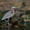Great Blue Heron - Elkhorn Slough, California
