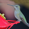 Anna's Hummingbird - Fairfield, California