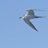 Forster's Tern - Elkhorn Slough, California