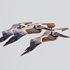 Brown Pelicans - San Diego, California