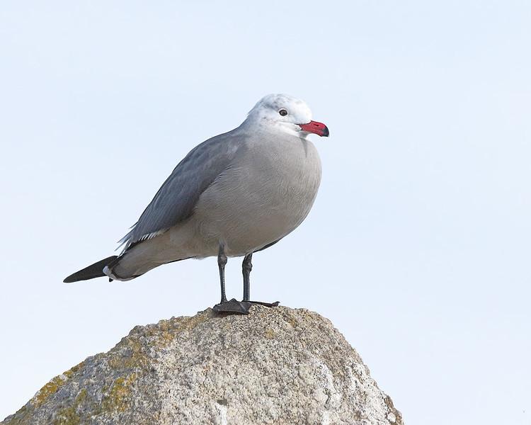 Heerman's Gull - Monterey, California