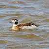 Long-tailed Duck - 2/8/15 - Crescent City, CA.