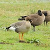 Tundra Bean-Goose - Nastucca Bay National Wildlife Refuge - Oregon - 2/10/15