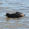 Common Scoter - 2/8/15 - Crescent City, CA. 1st US record.